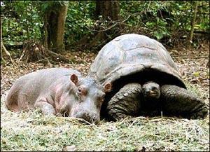 hippo_tortoise.jpg